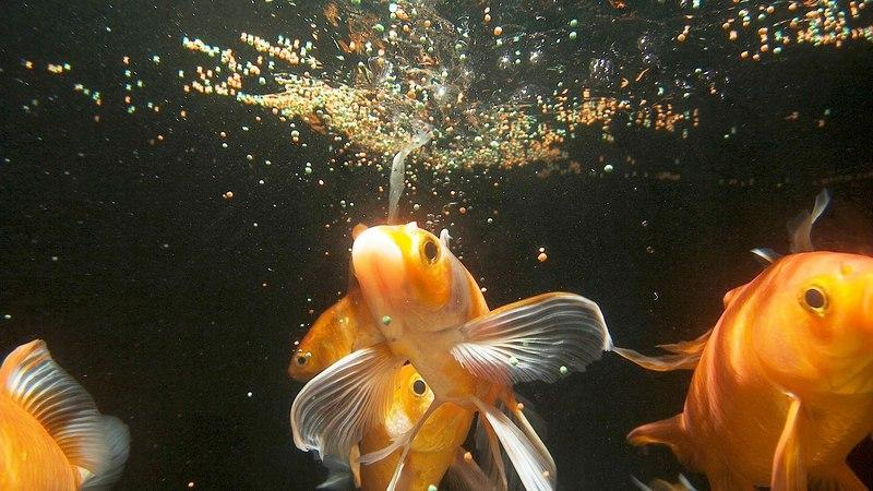 Золотые рыбки неприхотливы в еде и отличаются завидным аппетитом