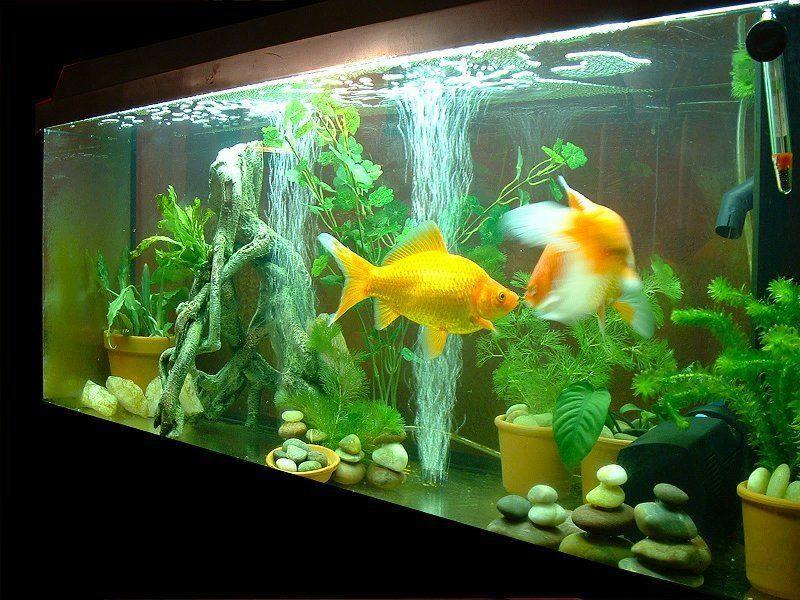 Золотые рыбки отличаются крупными размерами тела, поэтому объем аквариума должен быть большим