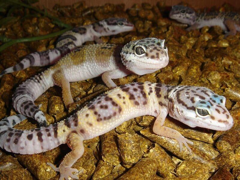Выбирать ящерицу необходимо из условий, в которых она привыкла жить