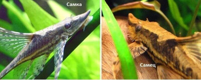 У самки расстояние между глазами намного меньше, чем у самцов