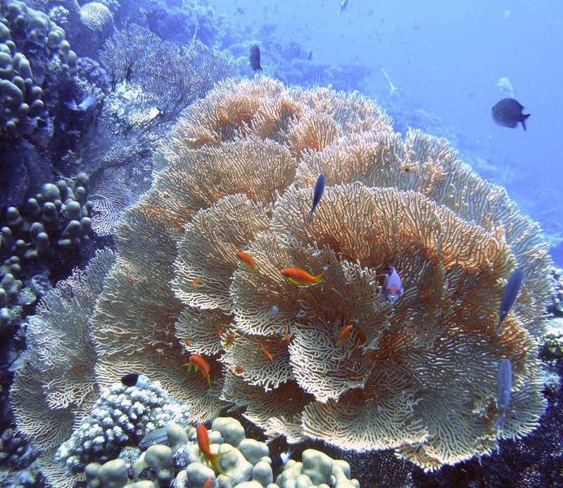 Горгонарии - отличный декоративный элемент для аквариума