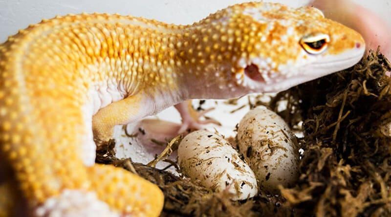 За раз самка откладывает 1-2 яйца