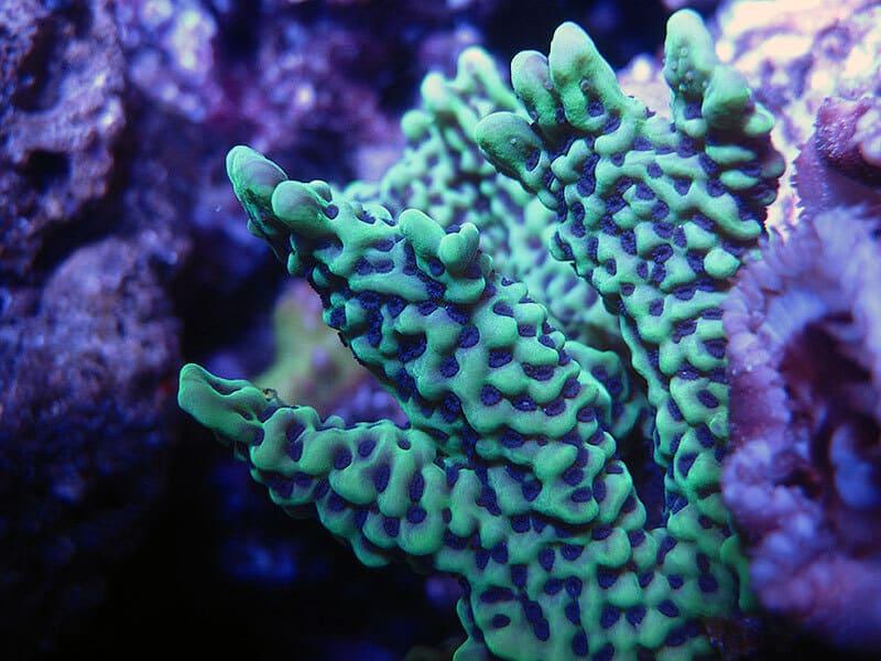 Монтипора - неприхотливый жёсткий коралл