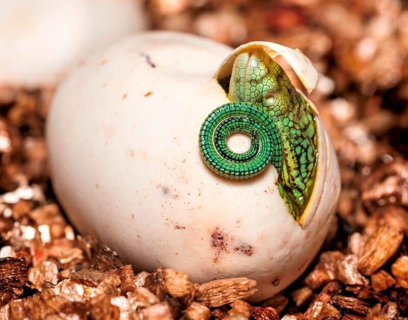 В основном хамелеоны размножаются путем откладывания яиц