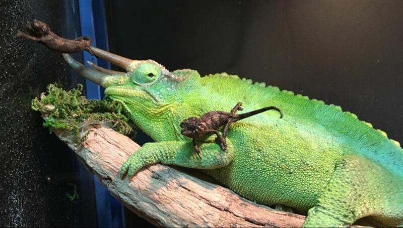 Живородящая самка за раз может рожать до 15 ящериц