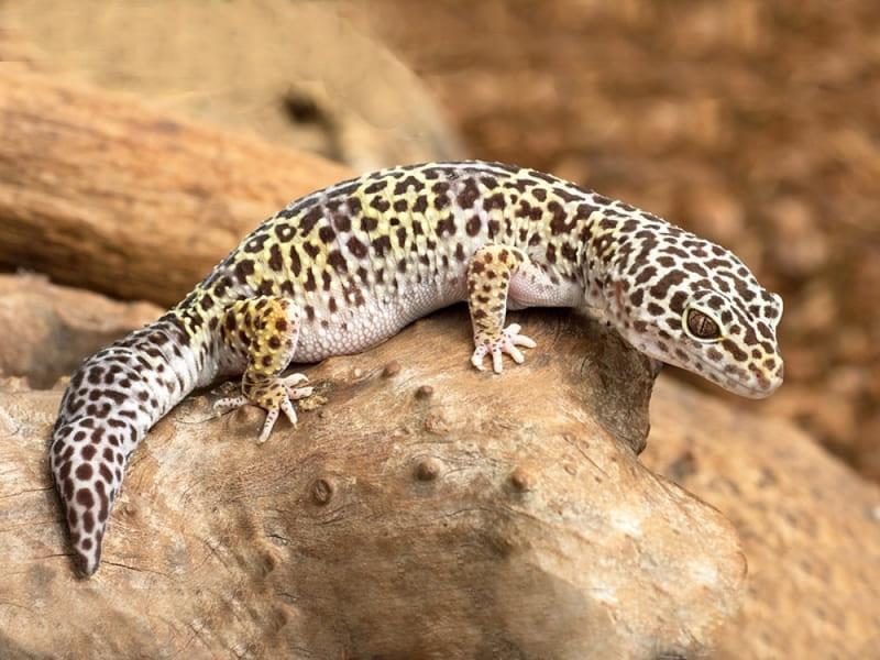 Пятнистые леопардовые - самые распространенные среди домашних ящериц