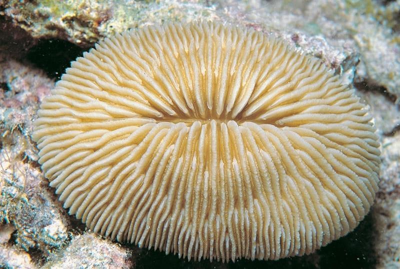 Морские коралловые грибы выглядят очень эффектно, но мало изучены