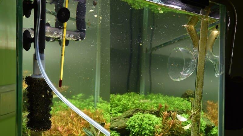 Для стурисомы обязательна качественная система фильтрации аквариума
