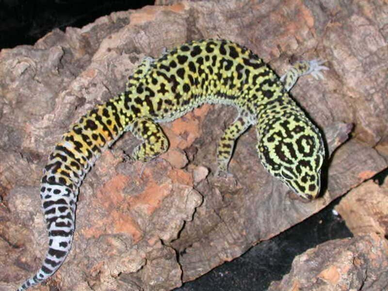 Афганские ящерицы в длину достигают 20 см