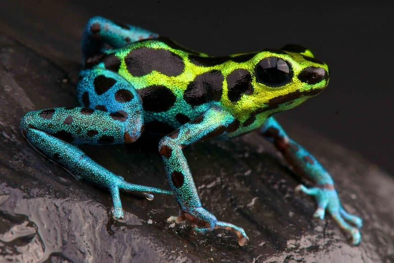 Древолаз Циммермана - одна из самых ядовитых лягушек