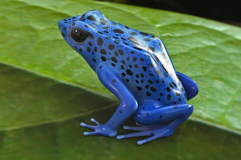 Голубой древолаз вырастает до 5 см - это большой размер для данного вида