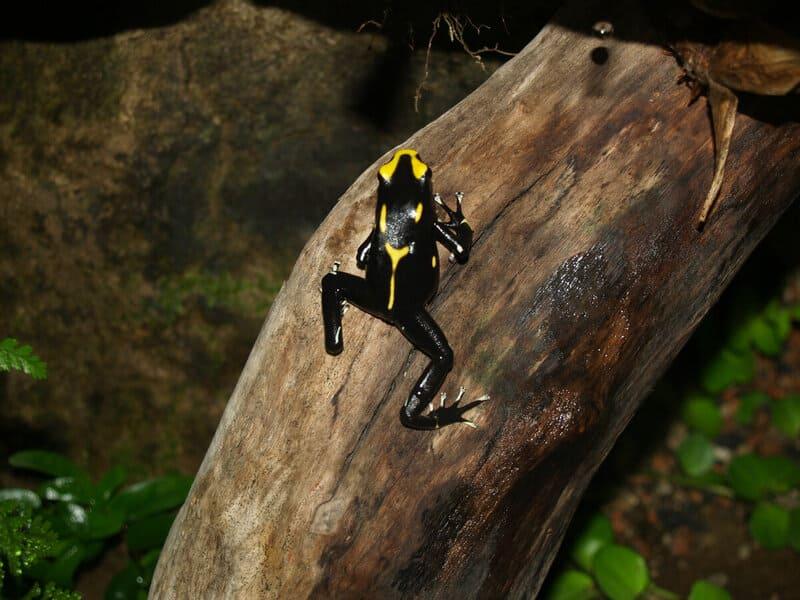 Древолазы обитают как в низинах, так и на высоте до 2000 м над уровнем моря
