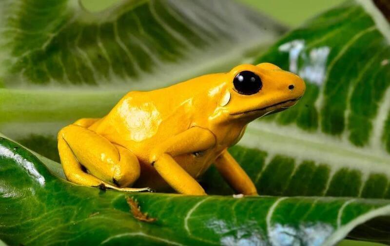 Золотой древолаз - очень яркая, маленькая и ядовитая лягушка