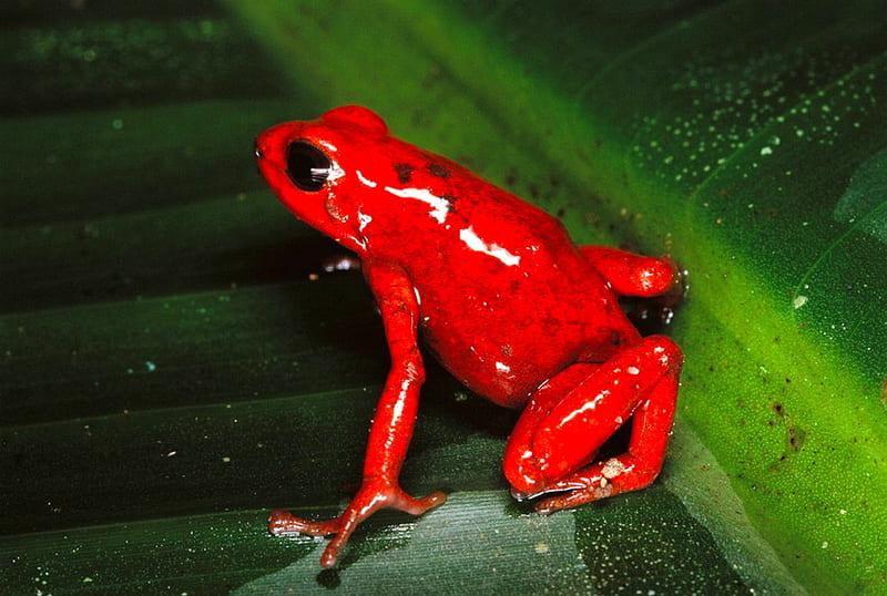Красная лягушка яйца откладывает в землю, а не на листья