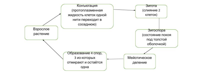 Цикл развития спирогиры