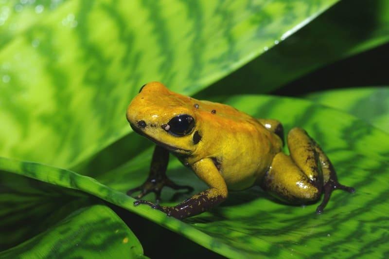 Ужасный листолаз - очень ядовитая лягушка, живет большими колониями