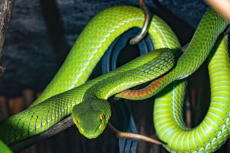 Главными врагами древолазов в природе считаются змеи