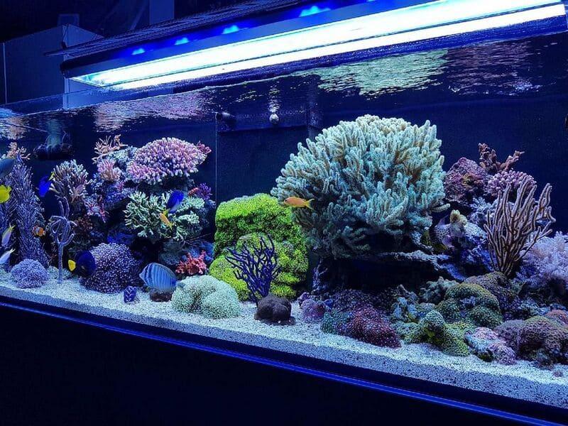 Чтобы коралл чувствовал себя хорошо, аквариум должен быть не менее 400 литров