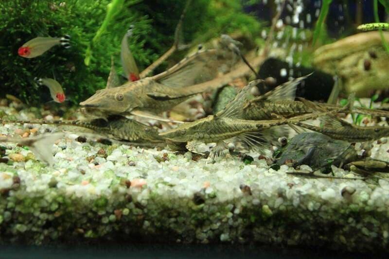 Стурисома не агрессивная рыба, предпочитает спокойных соседей