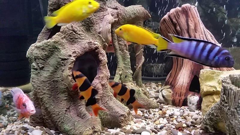 Лабидохромис Еллоу могут быть совместимы в одном водоёме с боциями