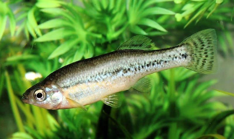 Илиодоны агрессивны, и содержать их лучше в хорошо аэрируемом аквариуме