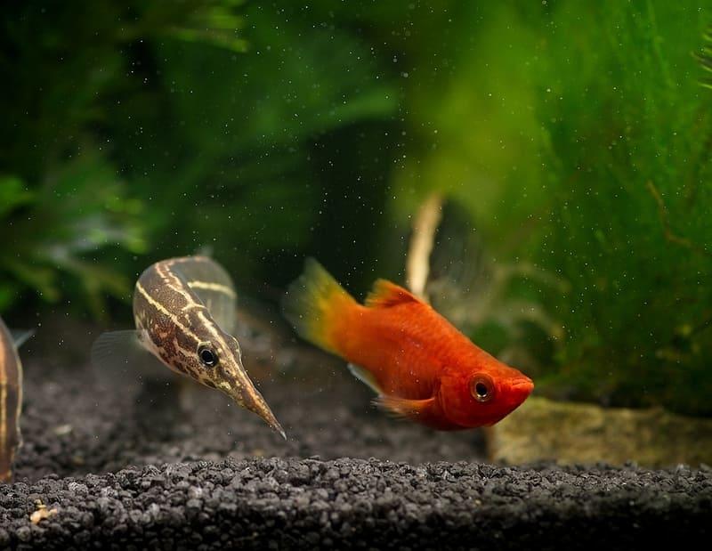 Макрогнатусы могут уживаться с крупными и не агрессивными рыбами