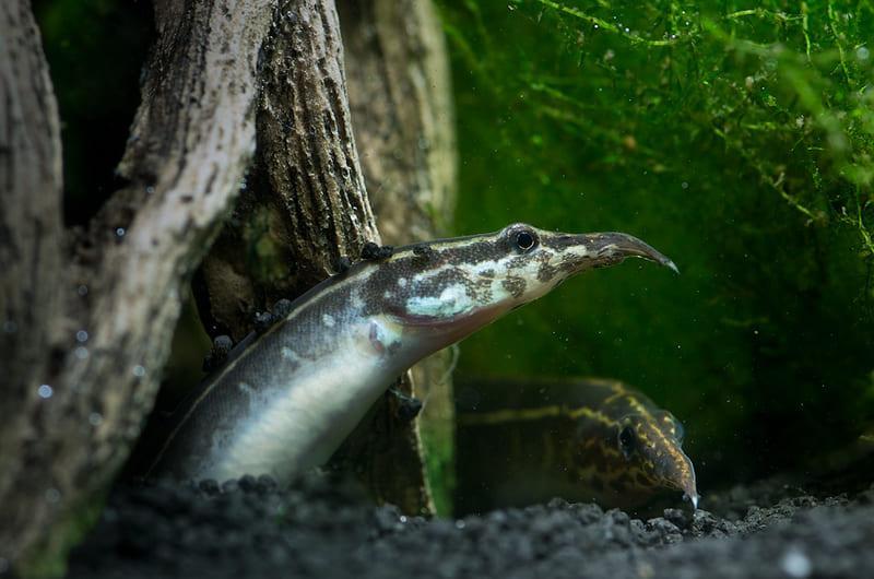 Самку и самца переселяются в аквариум для нереста
