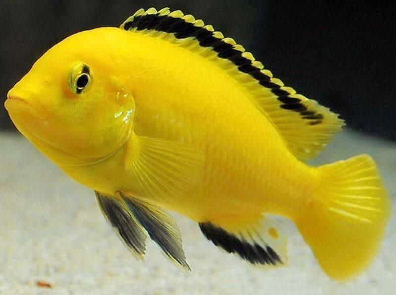 Рыбки славятся своей живучестью по причине высокой интеллектуальности вида