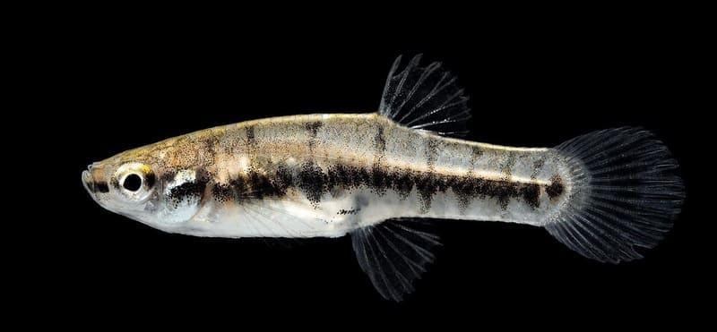 Формоза помогает очищать стенки аквариума и декорации от налета