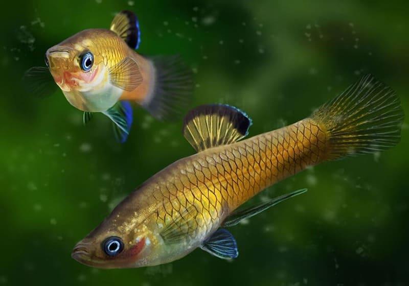 Красотка приапелла – миролюбивая водная обитательница с золотистой чешуей