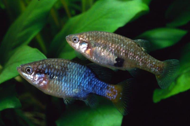 Средняя продолжительность жизни этих рыбок -3-4 года