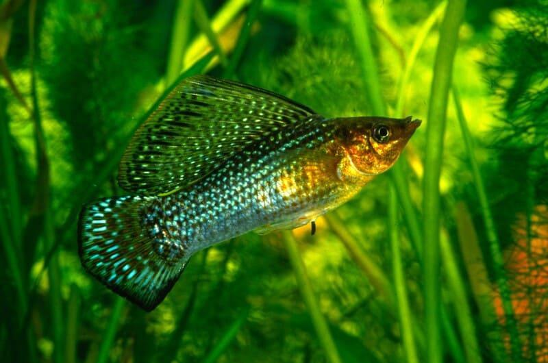 Крупный представитель лучеперых рыб, достигающий в длину 15-17 см