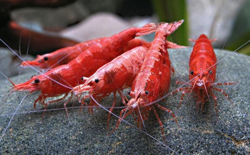 Креветки съедают оставшийся корм и водоросли, тем самым очищая аквариум