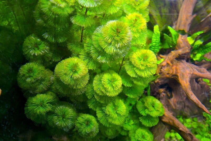 Кабомба – это трава с необычными перистыми листовыми пластинками