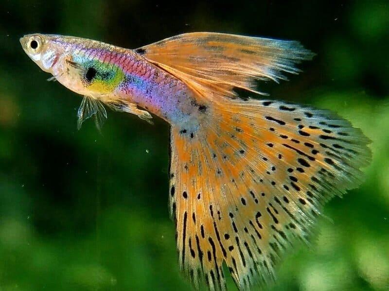 Гуппи – самые популярные жители аквариумов родом из Южной Америки