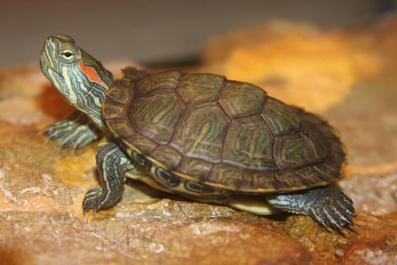Черепаха может требовать еду ежедневно, а может и 1 раз за 7 дней