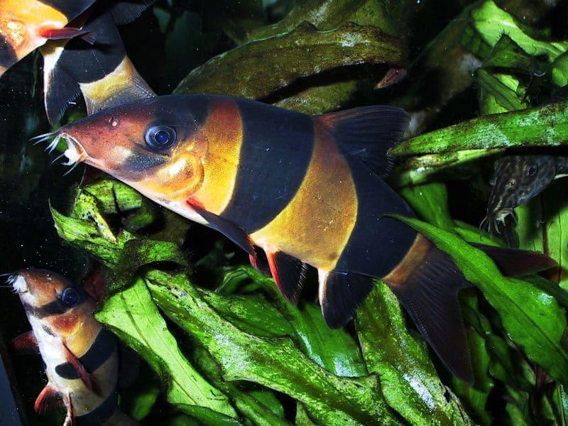 Рыбки плавают в любом положении, ловко лавируют на большой скорости