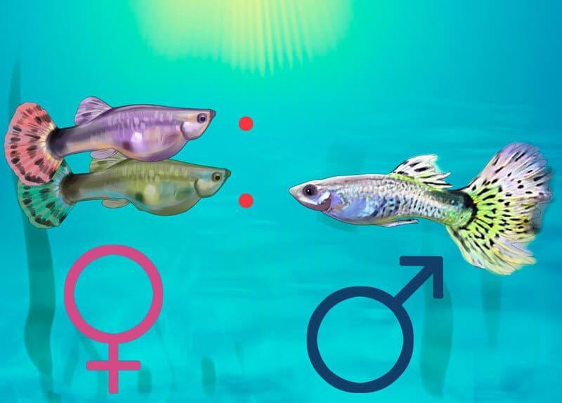 Окраска самцов насыщеннее, ярче, плавники более крупные и распушенные