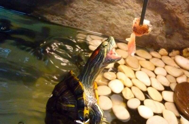 Кормить красноухих черепах можно с пинцета