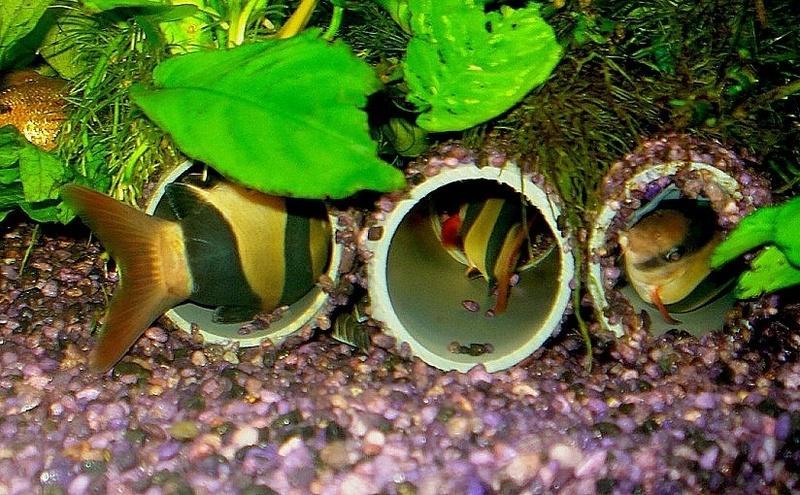 Рыбки нуждаются в укрытиях и гротах, в противном случае испытают стресс