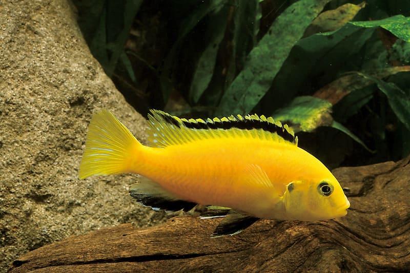 В аквариумных условиях цихлида колибри может достичь 15 см в длину
