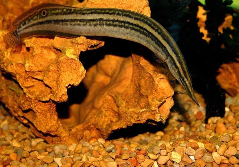 Макрогнатус сиамский вырастают в длину до 30 см