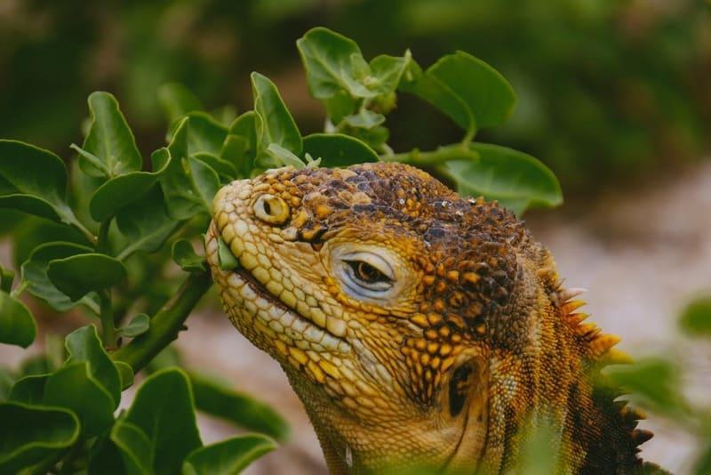 В дикой природе основу рациона игуан составляют трава, листва, фрукты
