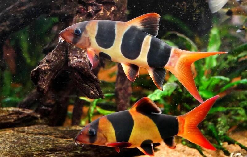Макраканта не относится к рыбам, отличающимся плодовитостью