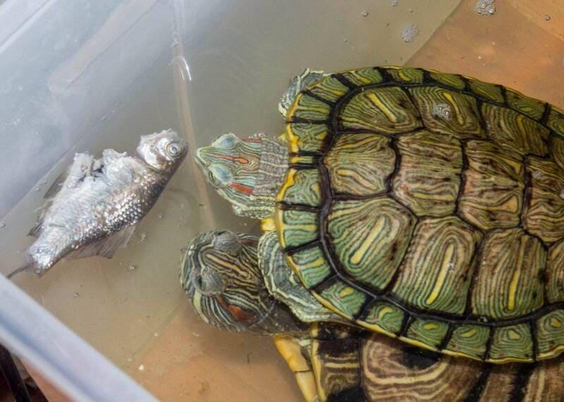Красноухие черепахи предпочитают живой корм, но увлекаться им не стоит