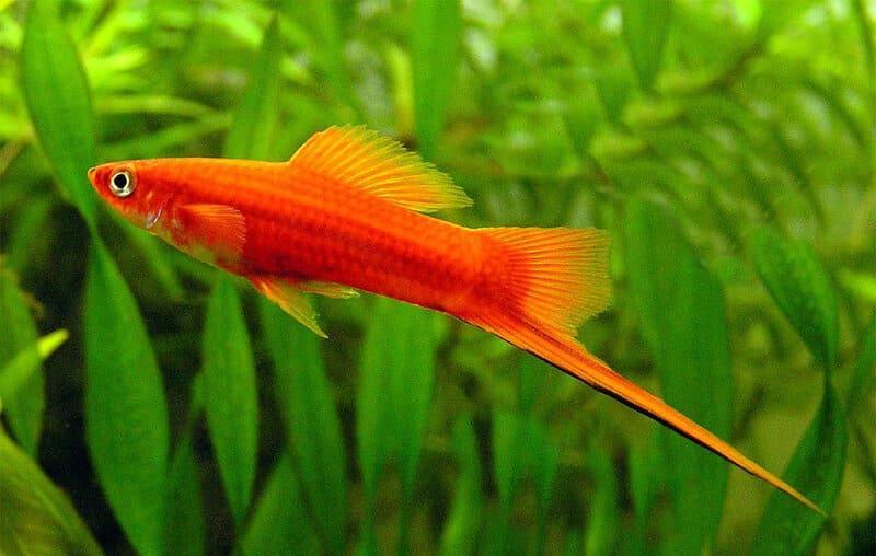 Рыбкам необходимо укрытия и густые заросли живой растительности