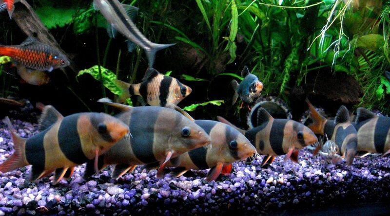 На одну взрослую рыбку должно приходиться не менее 50 л воды