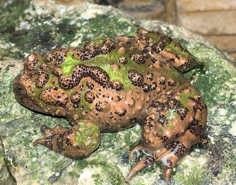 Эта лягушка имеет крупные размеры и в длину может достигать 8 см