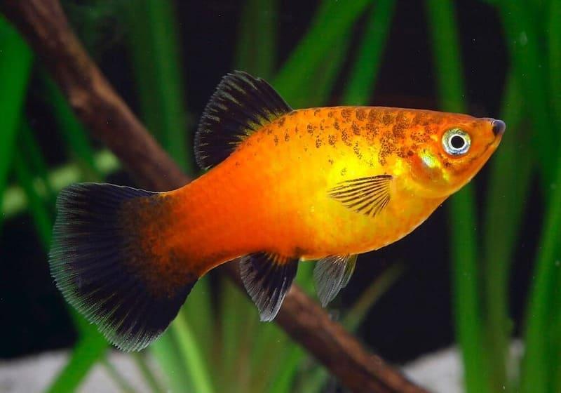Пецилии – миниатюрные рыбки, вырастающие в длину 5-6 см