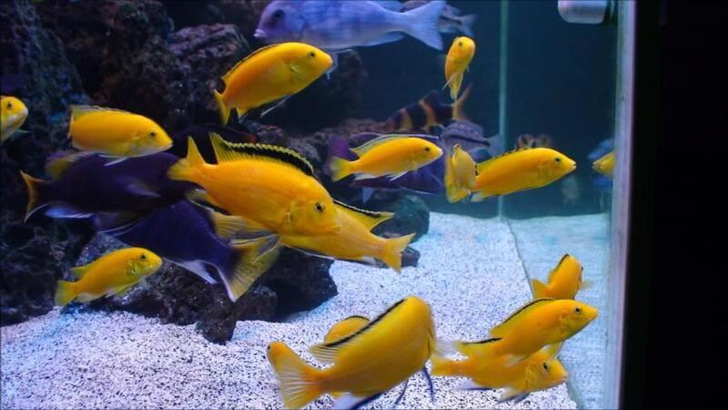 Желтые рыбки достаточно требовательны к условиям проживания